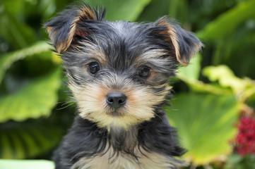 Junger Yorkshire Terrier - Rassehund Yorkshire Terrier Welpe