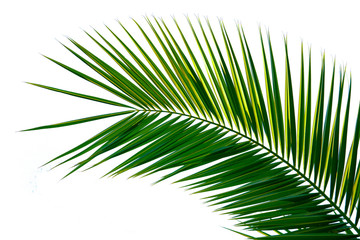 Photo sur Plexiglas Palmier Palm leaf