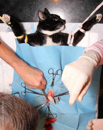 """Cat castration"" Stock photo and royalty-free images on Fotolia.com - Pic 26747350"