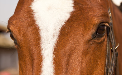 Portrait closeup of brown horse with white patch with halter