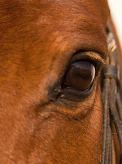 Portrait closeup of brown horse eye with halter
