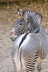 Zebra Zeichnung