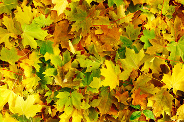 Golden autumn leaves as wonderful background.