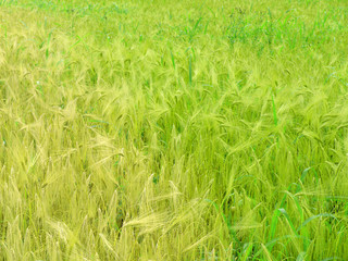 green wheat and windy weather