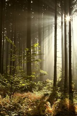 Keuken foto achterwand Bos in mist Misty coniferous forest backlit by the rising sun