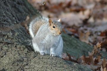Squirrel (Hörnchen)