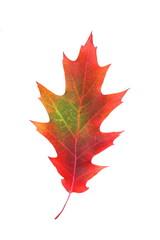 Czerwono-zielony liść dębu