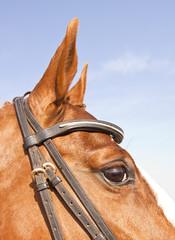 Closeup portrait of brown horse head against a blue sky
