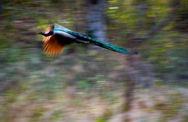 Flying peacock.