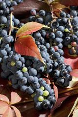 reife, frische Weintrauben