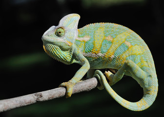 Canvas Prints Chameleon kameleon