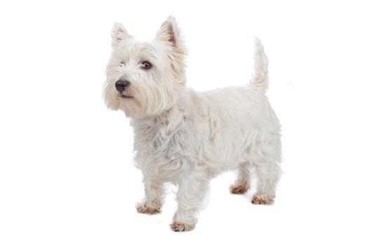 West Highland White Terrier isolated on white