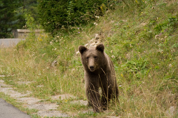 Wild Bear In The Forest