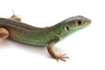 Smaragdeidechse - Jungtier