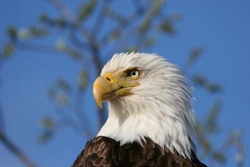 American Bald Eagle Head Shot