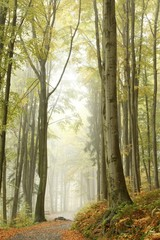 Keuken foto achterwand Bos in mist Misty autumn beech forest on the slope in a nature reserve