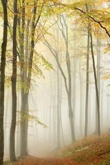 Keuken foto achterwand Bos in mist Misty autumn beech forest in a nature reserve