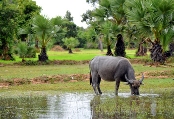 water buffalo in rice field in cambodia