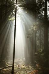 Keuken foto achterwand Bos in mist Misty coniferous forest backlit by the morning sunlight