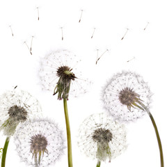 group of isolated dandelions