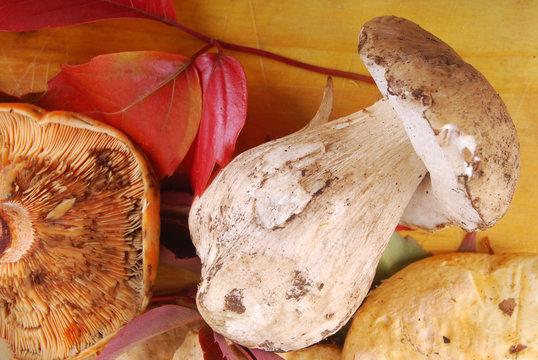 Champignons - Pied de Mouton et Lactaire