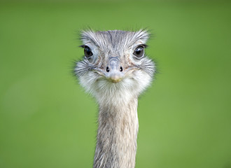 Close up of a Greater Rhea looking the camera
