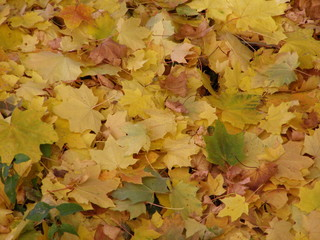 yellow or brown autumn leaves background