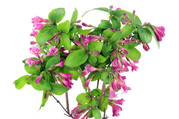Bush of Pink Weigela isolated