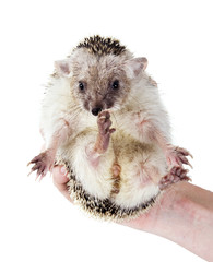 Long-eared hedgehog in his hand. And here I am!