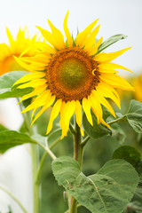 beautiful flower of a sunflower in the hands of women