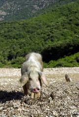 Female wild pig