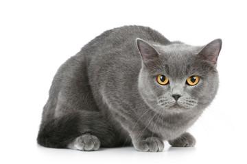 Wall Mural - British shorthair grey cat with big wide open orange eyes