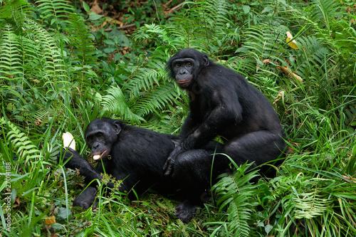 секс диких обезьяны