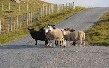 Schaf Schottland