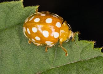 Calvia quatuordecimguttata. Macro photo.