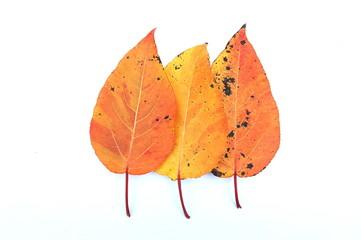 Trzy liście topoli