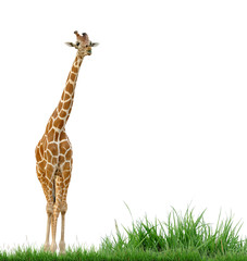 giraffe and grass isolated