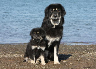 dogue du Tibet assis avec son chiot