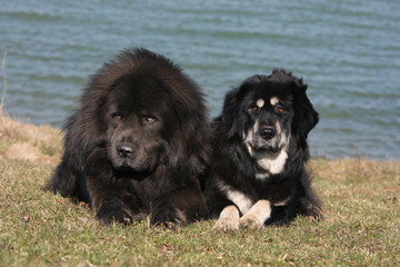couple de dogues du Tibet