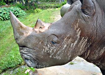 rhinoceros head