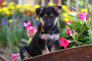 German Shepherd in Wheelbarrow with Flowers