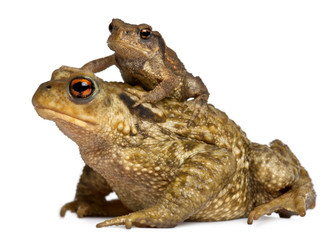 Mother Common toad and her baby, bufo bufo