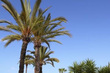 phoenix canariensis palm trees blue sky