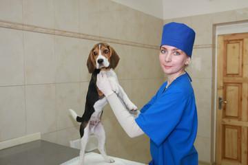 Woman veterinarian and beagle dog.