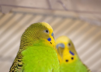 Close-up of Australian parakeets