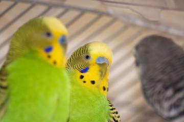 Close-up of Australian parakeets