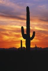 Photo sur Aluminium Cactus Saguaro Cactus At Sunset, Picacho Peak State Park
