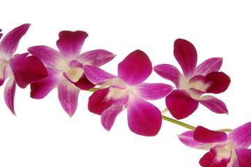 orchidea singapore