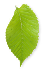 Isolated Elm Leaf