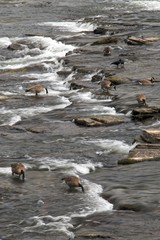 Canadian Geese Fishing in Rapids